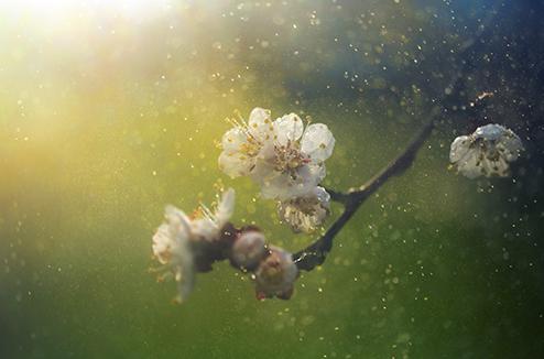 Le retour des pollens